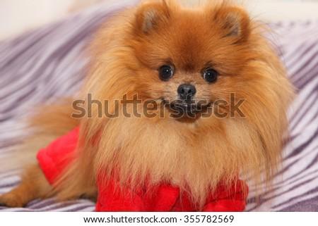 Cute pomeranian dog - stock photo