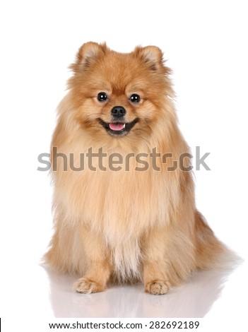 Cute Pomeranian dog on a white background - stock photo