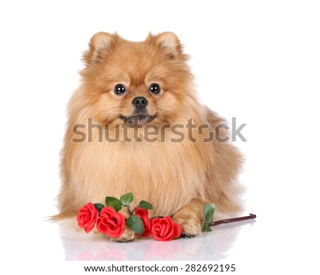 Cute Pomeranian dog with flowers on a white background - stock photo