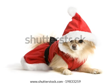 Cute Pomeranian puppy dressed as Santa.