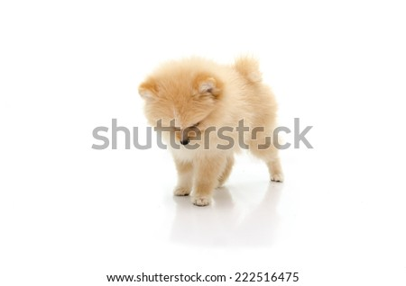 Cute pomeranian puppy looking down on white background isolated - stock photo