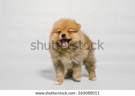 cute pomeranian puppy stand and smile. soft focus on face  - stock photo