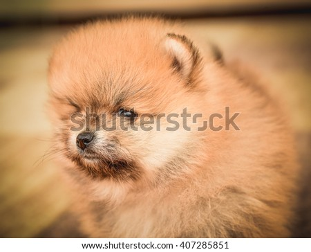 Cute Pomeranian Spitz dog puppy sitting at home portrait. Colorful purebred animal portrait in the house on the carpet. - stock photo