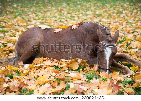 Cute pony lying in leaves - stock photo