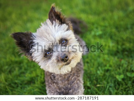 cute poodle chihuahua mix senior female dog sitting in clover grass at a local park during summer in bright sunlight with her tongue hanging out and squinting at the camera (SHALLOW DOF on the eyes) - stock photo