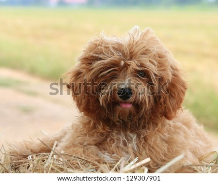 Cute Poodle Puppy