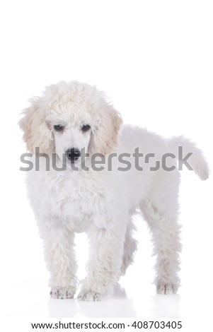Cute poodle puppy standing isolated