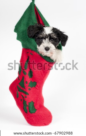 Cute Powder-puff puppy, hanging in a Christmas stocking. - stock photo