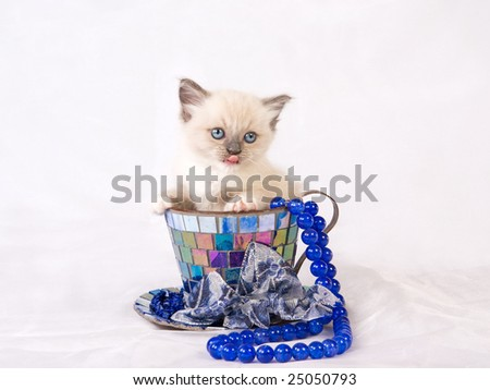 Cute pretty Ragdoll kitten on white shiny fabric background sitting in large decorated cup with string of blue beads - stock photo