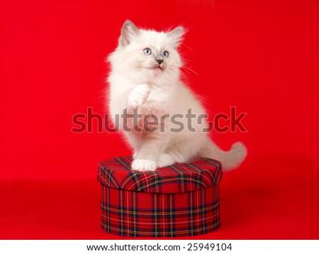 Cute, pretty Ragdoll kitten with tartan gift box, on red fabric background - stock photo