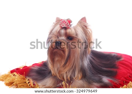 cute pretty Yorkshire terrier on the bright red cushion