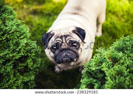 Cute pug curious. Animal on a beautiful green lawn - stock photo