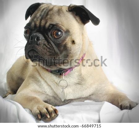 Cute Pug Dog - stock photo