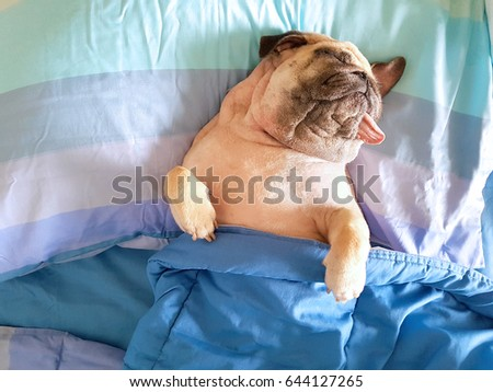 Puggy dog stock images royalty free images vectors shutterstock cute pug dog sleep rest in bed wrap with blanket and tongue sticking out in thecheapjerseys Gallery