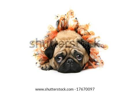 Cute Pug dressed for Halloween - stock photo