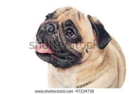 Cute pug isolated on white