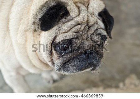 Cute pug lying, pug with sad eyes.dog sad.