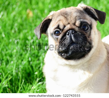 Cute pug portrait against green grass - stock photo