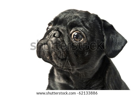 Cute pug puppy isolated on white - stock photo