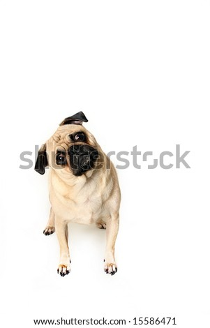 Cute Pug Puppy isolated on white background. - stock photo