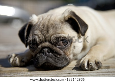 cute pug puppy small toy dog resting curious - stock photo