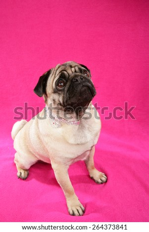 Cute pug sitting on pink background looking up