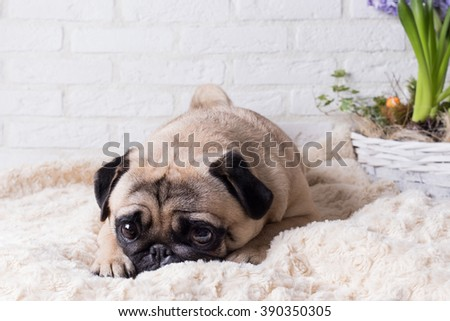 Cute pug with purple flowers against a white brick wall. The image of the background. Selective focus.