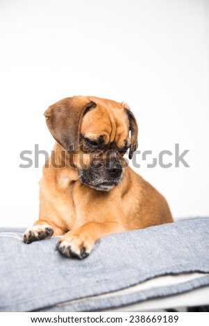 Cute Puggle Dog Laying on Gray Blanket
