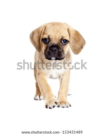 Cute Puggle puppy isolated on white background - stock photo