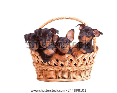 Cute Puppies In A Basket - Stock Image