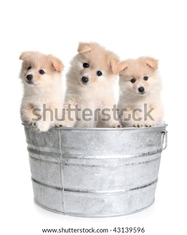 Cute Puppies in an Old Silver Washtub on White Background - stock photo