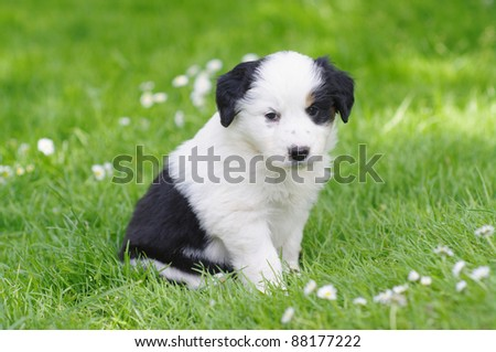 cute puppies in the meadow in spring time - stock photo