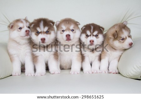 Cute puppies of siberian husky on sofa