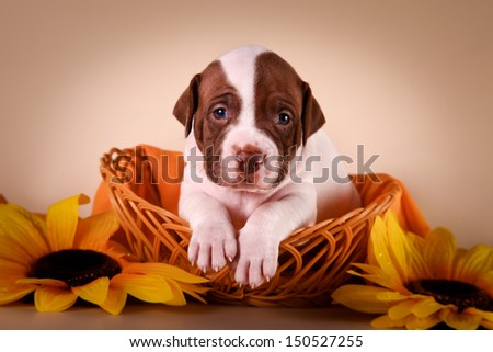 cute puppies pitbull terrier on a colored background in the scenery, with toys, portrait