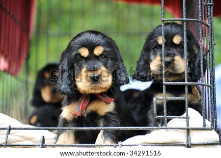 cute puppies purebred cocker spaniel waiting their owner - stock photo
