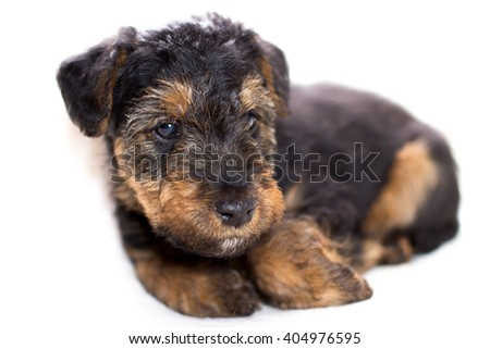 cute puppy - airedale terrier puppy  on white background - stock photo