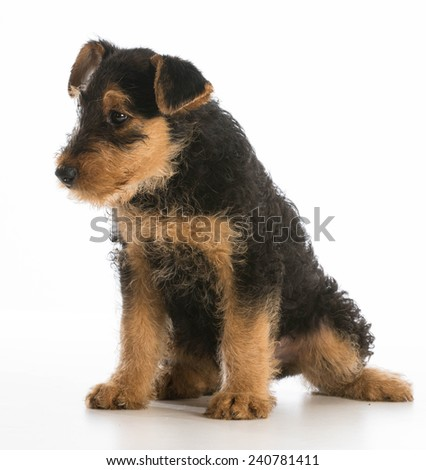 cute puppy - airedale terrier puppy sitting on white background - stock photo