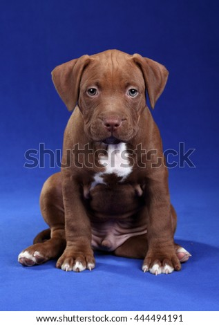 Cute puppy American Pit Bull Terrier on a blue background - stock photo
