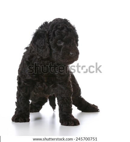 cute puppy - barbet puppy standing on white background - 5 weeks old - stock photo