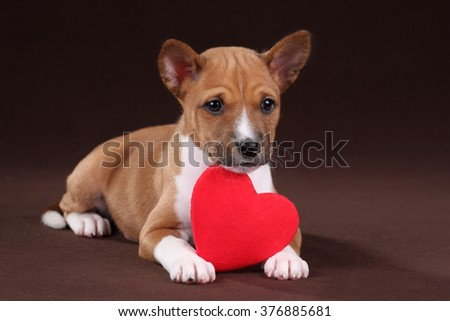 Cute puppy basenji with a red heart - stock photo
