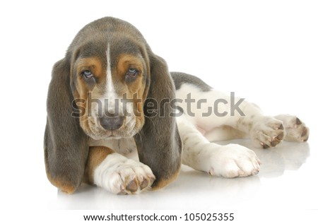 cute puppy - basset hound puppy laying down looking at viewer - 8 weeks old - stock photo