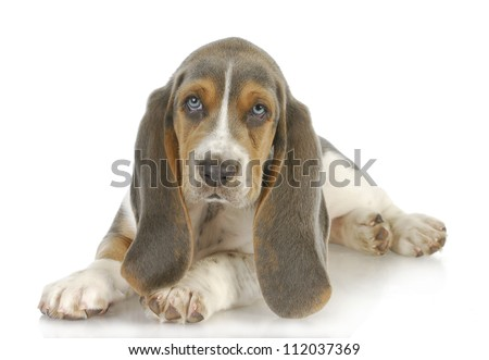 cute puppy - basset hound puppy laying down on white background - 8 weeks old