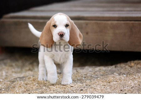 Cute puppy beagle - stock photo