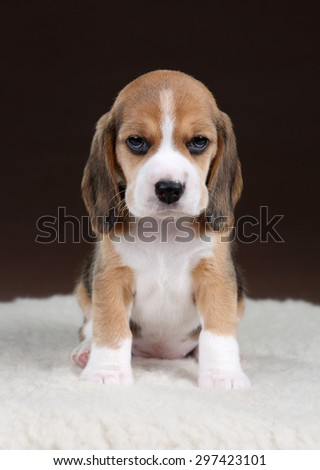 Cute puppy beagle on a brown background