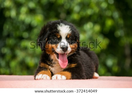 cute puppy Bernese Mountain Dog lies on a green background - stock photo