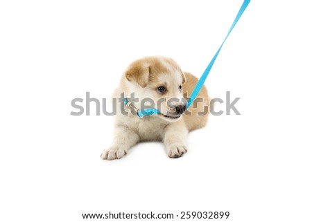 Cute puppy biting his collar against a white background - stock photo