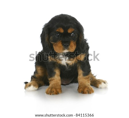 cute puppy - black and tan cavalier king charles spaniel puppy sitting - 6 weeks old - stock photo