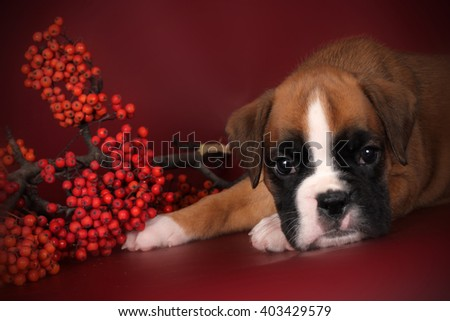 Cute puppy boxer laid his head on his paws, sad eyes - stock photo