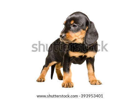 Cute puppy breed Slovakian Hound isolated on white background - stock photo