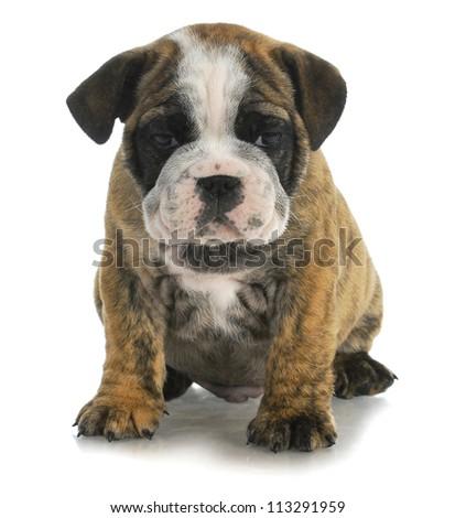 cute puppy - bulldog sitting on white background - 8 weeks old - stock photo